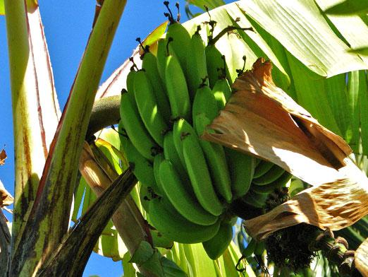 Where do bananas grow?