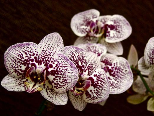 How to care for phalaenopsis orchids?