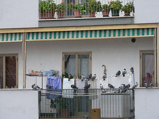 How to get rid of pigeons?
