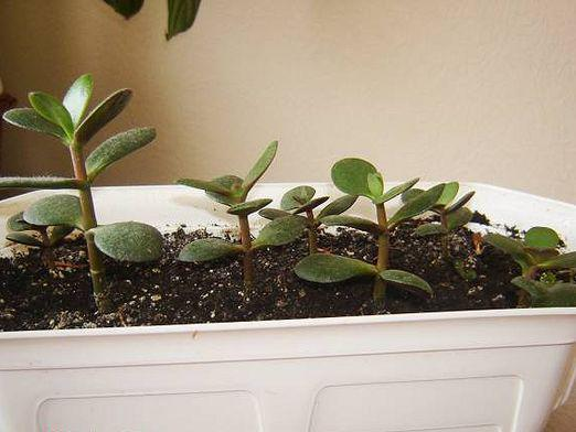 How to transplant a money tree?