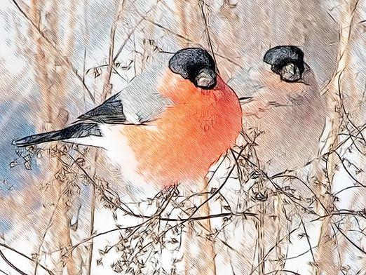 How to draw a bullfinch?