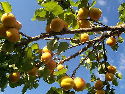 How to grow apricot?