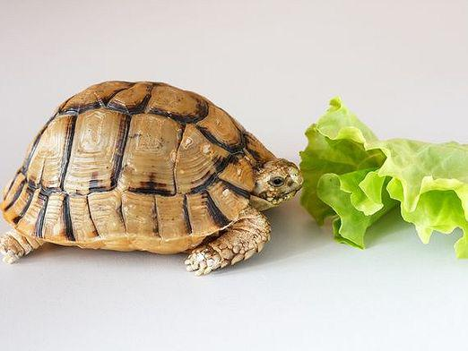 Why don't the turtle eat?