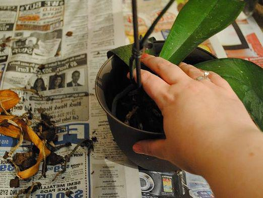 How to plant an orchid?