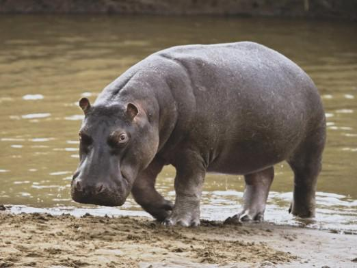 What you need to catch a hippo?