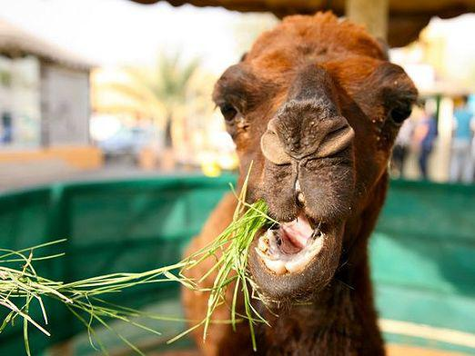 What does a camel eat?