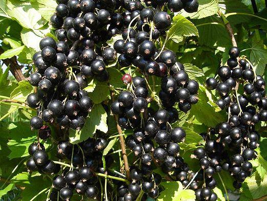 When to replace the currants?