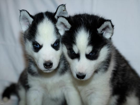 What is the name Husky?