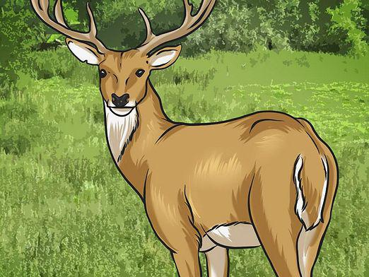 How to draw a deer?