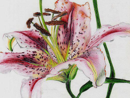 How to draw a lily?