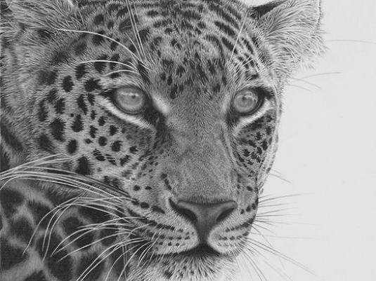 How to draw a leopard?