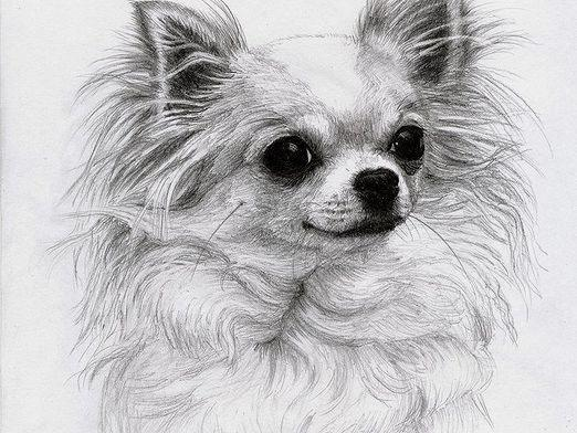 How to draw a chihuahua dog?