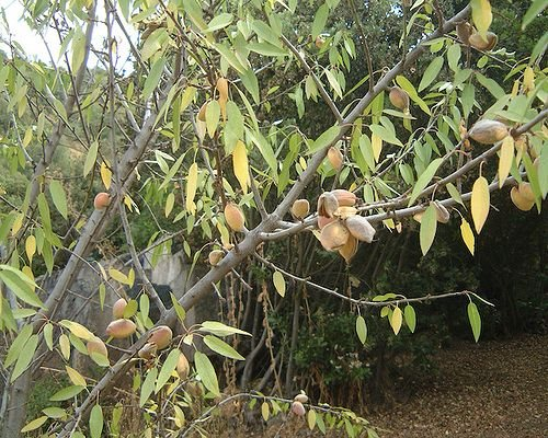 Almond tree nuts
