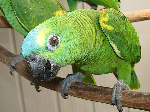 What do you call a parrot boy?