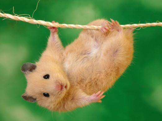 How to train a hamster?