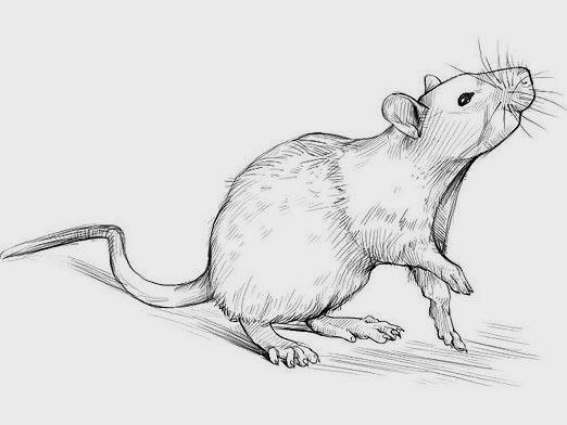 How to draw a rat?