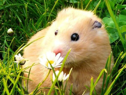 What do you call a hamster?