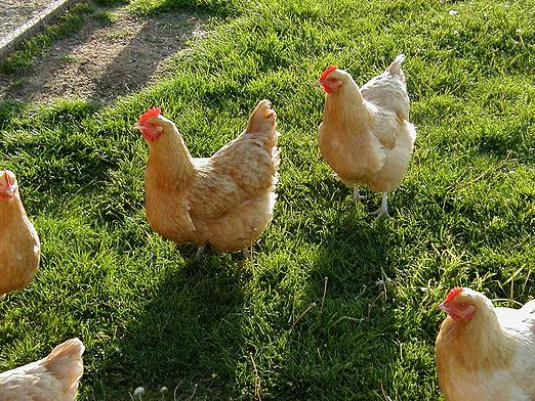 How many chickens live?