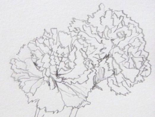 How to draw a carnation?