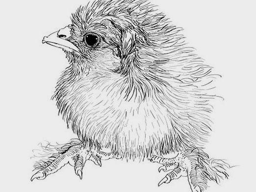 How to draw a chicken?