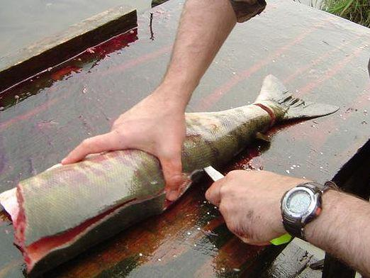 How to cut pink salmon?