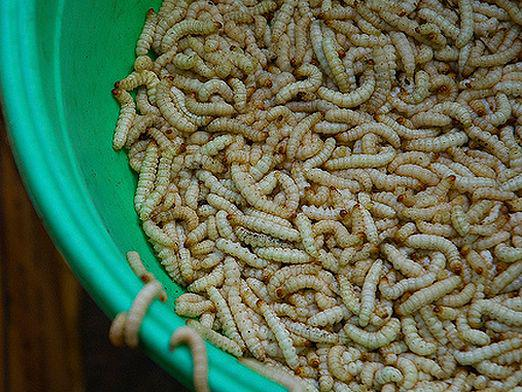 How to plant maggots?