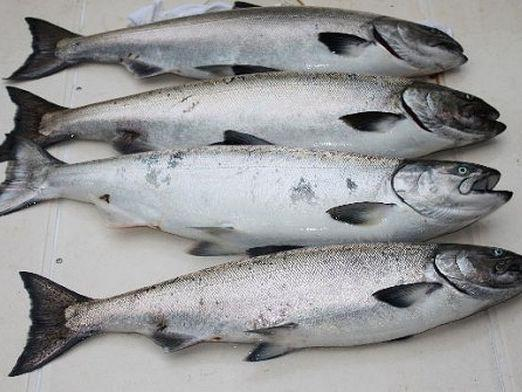 How to distinguish pink salmon?