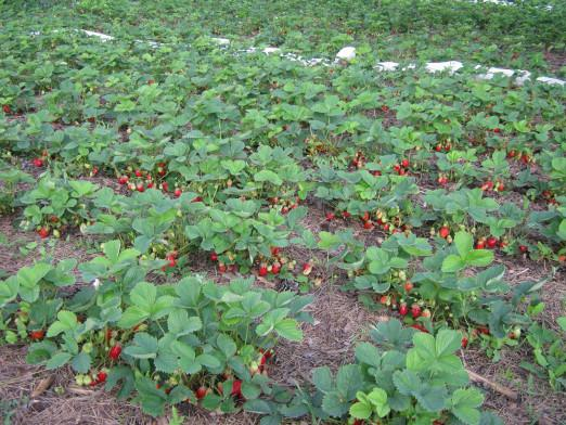 How to plant strawberries?