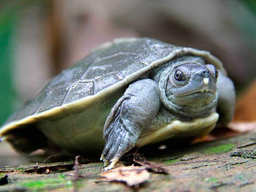 How many turtles live?