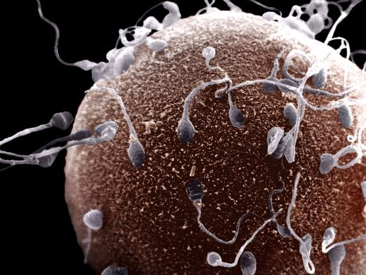 How long does an egg cell live?