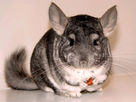 How many chinchillas live?
