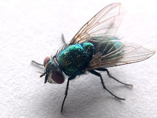 How many flies live?