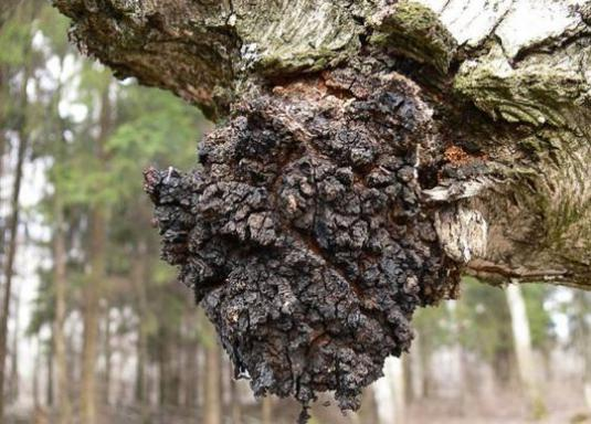 How to brew chaga?