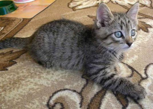 What do you call a gray kitty boy?