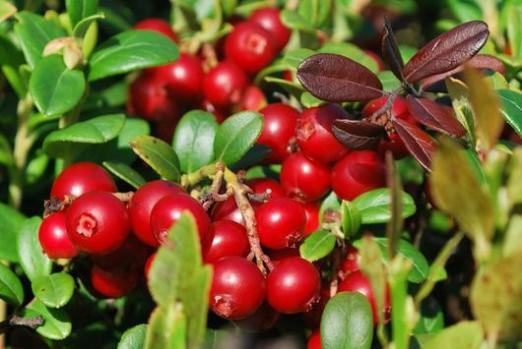 What is useful cranberry?