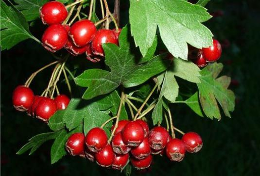 What is useful hawthorn?