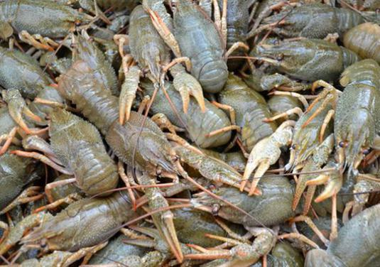 How to store crayfish?