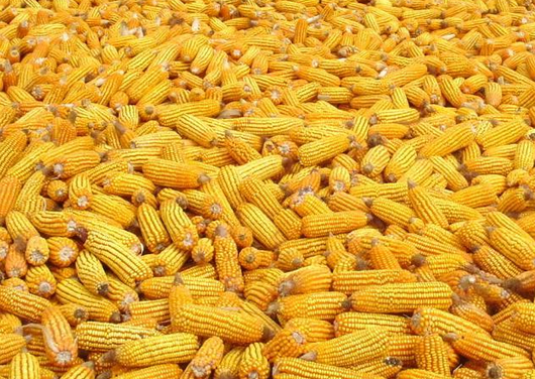 How to store corn?