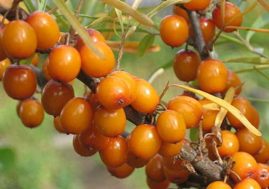 How to collect sea buckthorn?