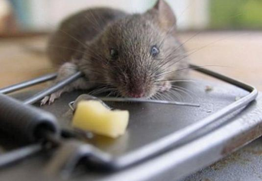 How to catch a mouse in the apartment?