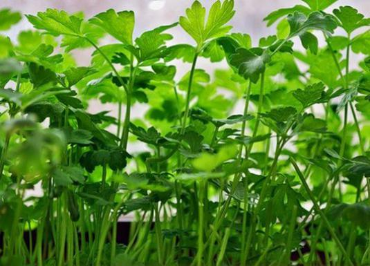 How to plant parsley?
