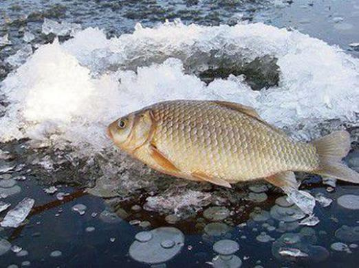 How to catch a crucian in the winter?