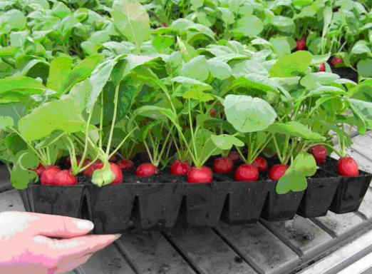 How to grow radishes?