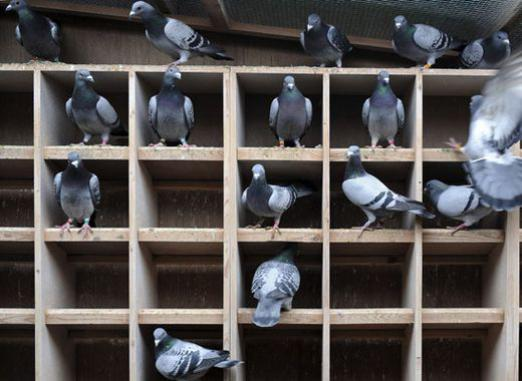 How to grow pigeons?