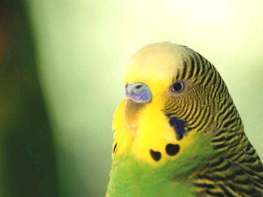 How to determine the age of a parrot?