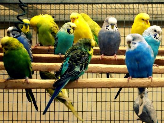 How to choose a parrot?