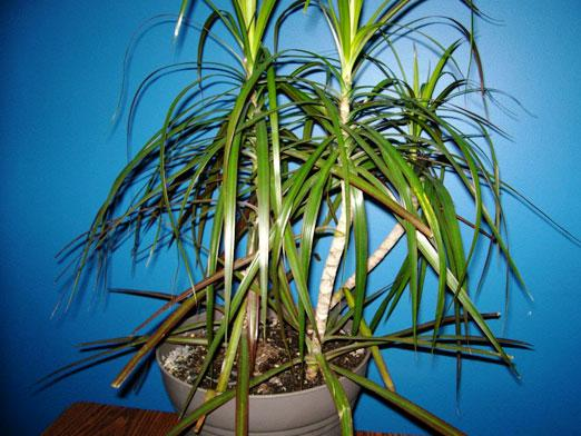 How to transplant dracaena?