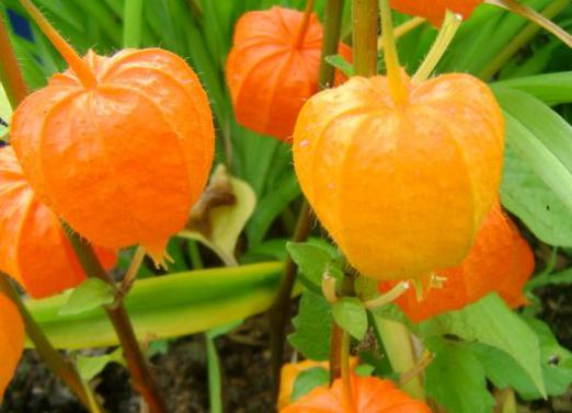 What is physalis?
