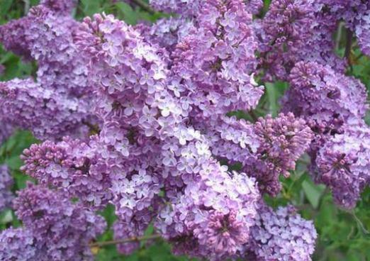 What dreams of lilac?