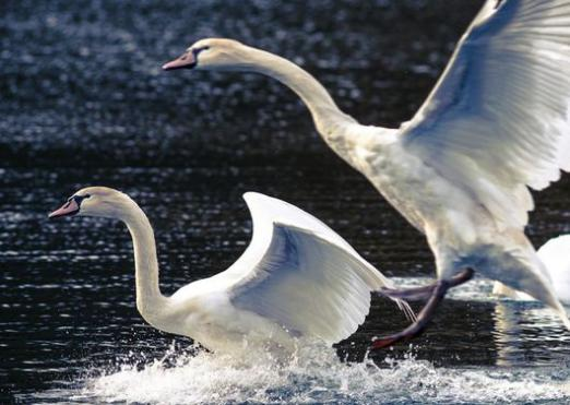 What do swans dream about?